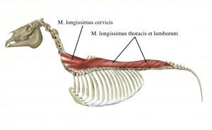 Longissimus_Lumborum_1