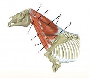 Musculi_colli_cervicis_1