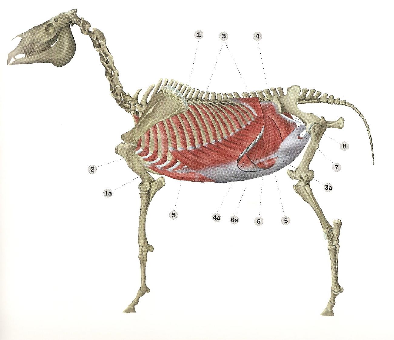 hästens anatomi rygg